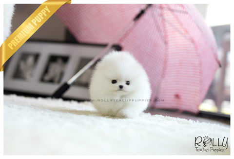 (RESERVED to Dean) Bailey - Pomeranian. M