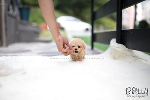 (SOLD to Wijaya) Bailey - Poodle. M - Rolly Teacup Puppies