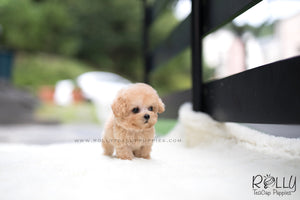 (SOLD to Wijaya) Bailey - Poodle. M - Rolly Teacup Puppies - Rolly Pups