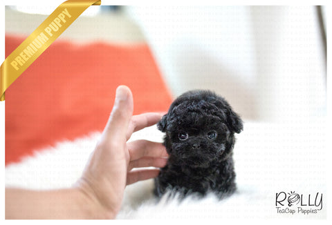 (SOLD to Gazda) Bailey - Poodle. M - Rolly Teacup Puppies
