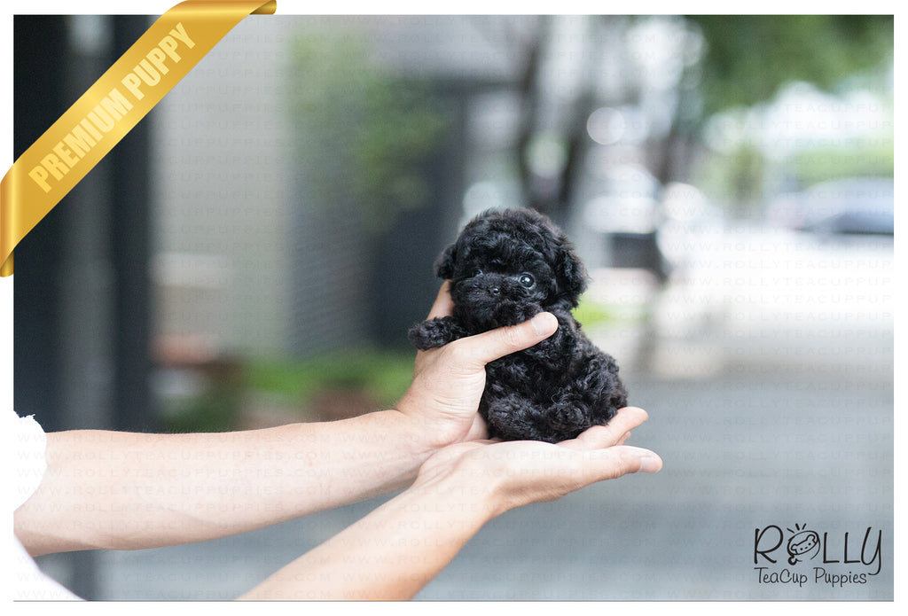 (SOLD to Gazda) Bailey - Poodle. M - ROLLY PUPS INC