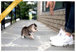 (Purchased by Nakamori) Balto - Pomsky. M - Rolly Teacup Puppies