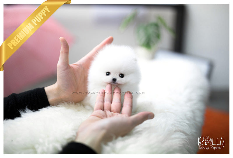 (SOLD to Eddine) Barbie - Pomeranian. F - Rolly Teacup Puppies