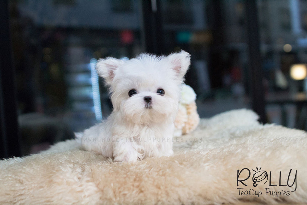 Barney - Maltese - Rolly Teacup Puppies - Rolly Pups