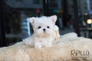 Barney - Maltese - Rolly Teacup Puppies