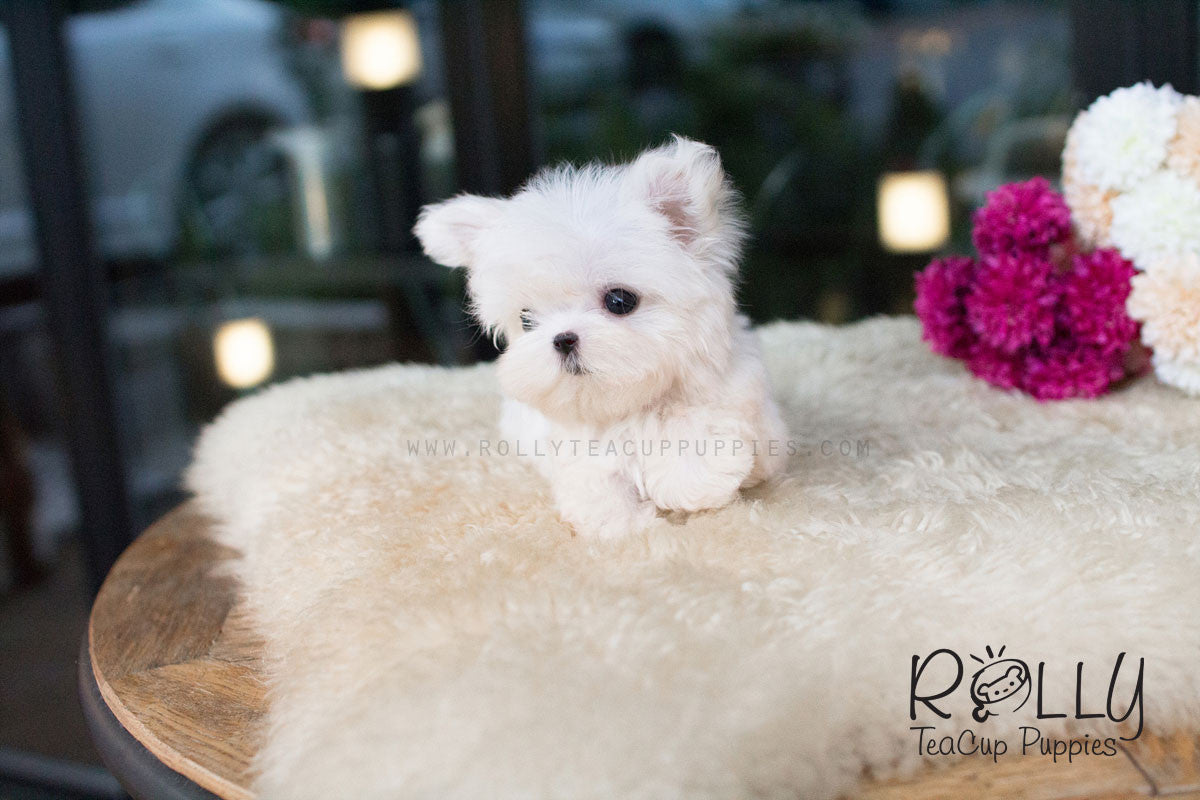 American Express Near Me >> Barney - Maltese– Rolly Teacup Puppies