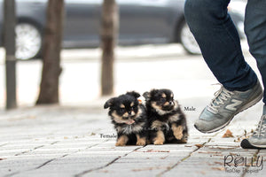 (SOLD to Skate) Bart - Pomchi. M - Rolly Teacup Puppies - Rolly Pups