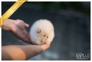 (SOLD to Tam) Basil - Pomeranian. M - Rolly Teacup Puppies - Rolly Pups