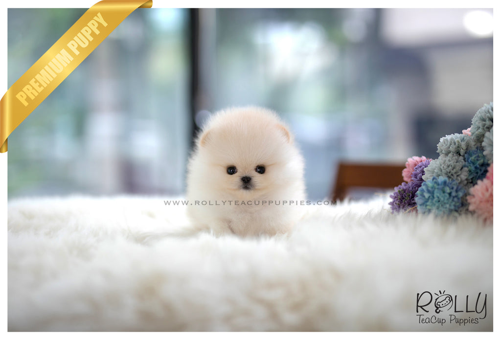 (SOLD to Tam) Basil - Pomeranian. M - Rolly Teacup Puppies