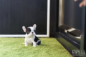 (SOLD to Jamie) Batman - French Bulldog. M - ROLLY PUPS INC