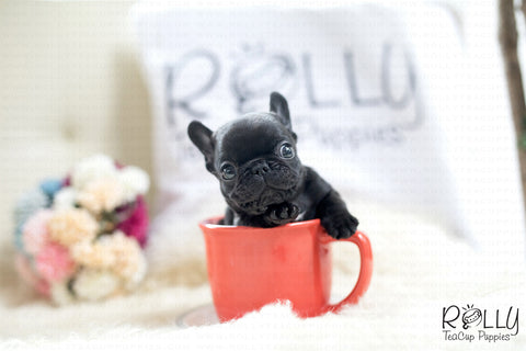 (RESERVED by Arabidis) Batman - French. M - Rolly Teacup Puppies