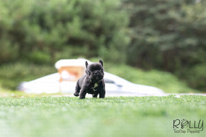 (Purchased by Arabidis) Batman - French. M - Rolly Teacup Puppies