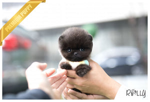 (Purchased by Alexia) Bean - Pomeranian. M - Rolly Teacup Puppies