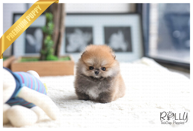 (Purchased by Tiffany S.) Bear - Pomeranian. M - Rolly Teacup Puppies - Rolly Pups