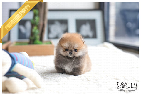 (Purchased by Tiffany S.)Bear - Pomeranian. M - Rolly Teacup Puppies