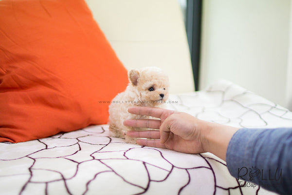 (SOLD to Han) Bear - Poodle. M - Rolly Teacup Puppies