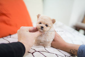 (SOLD to Han) Bear - Poodle. M - Rolly Teacup Puppies - Rolly Pups