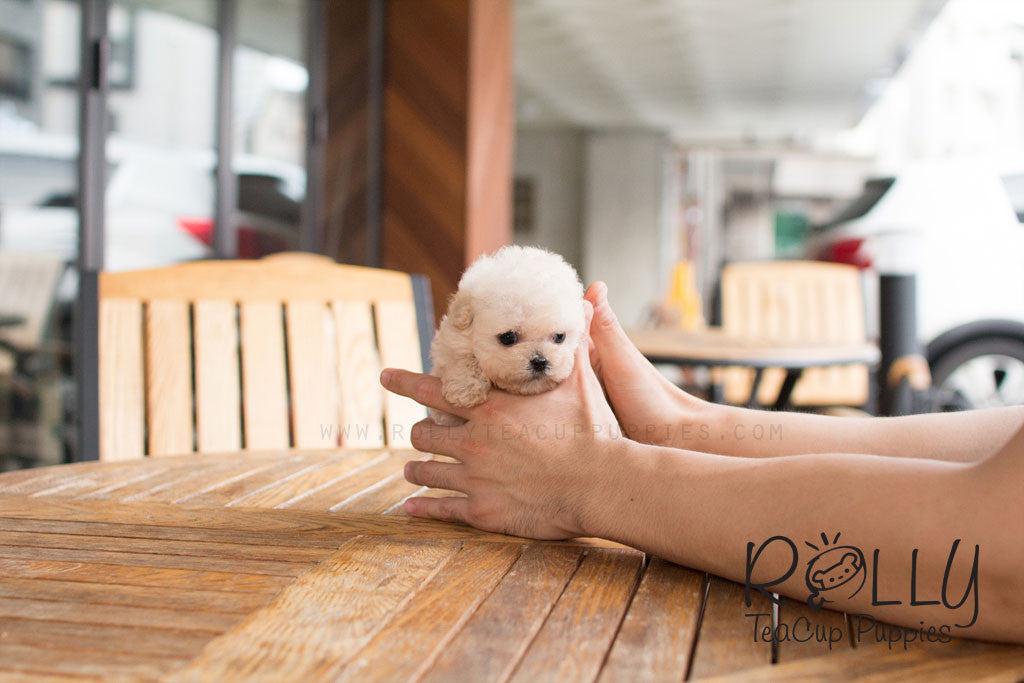 Bear - Poodle - Rolly Teacup Puppies
