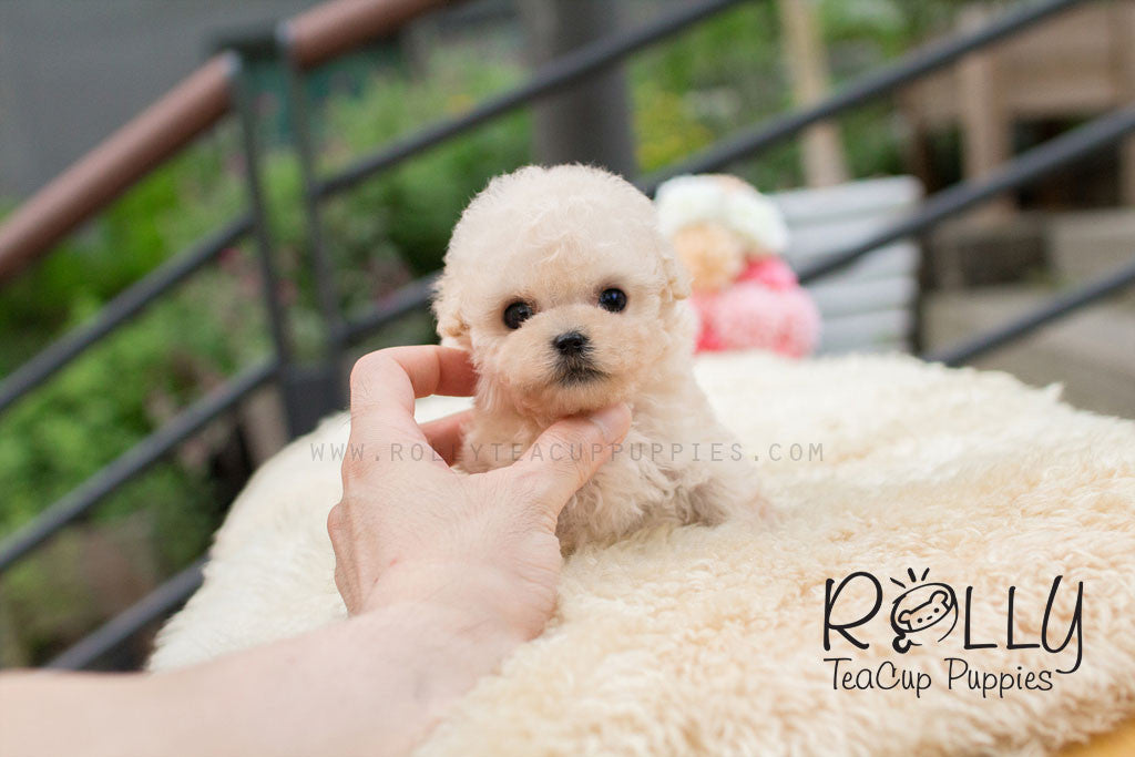 Bear Poodle Rolly Teacup Puppies