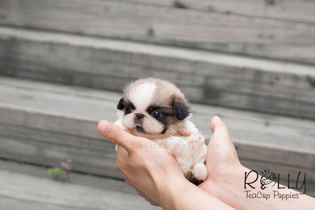 Beau - Pekingese - Rolly Teacup Puppies - Rolly Pups