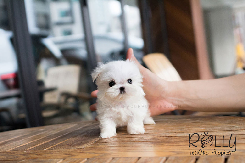 Bebe - Maltese - Rolly Teacup Puppies