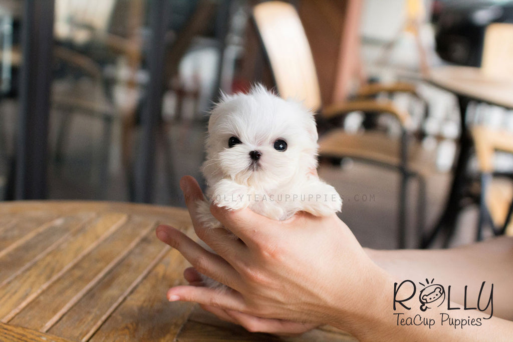 Bebe - Maltese - Rolly Teacup Puppies - Rolly Pups