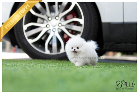 (SOLD to Reyes) Bebe - Pomeranian. M