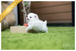 (SOLD to Theriot) Bell - Maltese. F - ROLLY PUPS INC