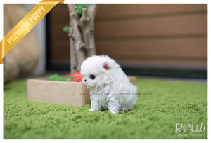 (SOLD to Theriot) Bell - Maltese. F - Rolly Teacup Puppies