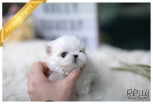(SOLD to Theriot) Bell - Maltese. F - Rolly Teacup Puppies - Rolly Pups