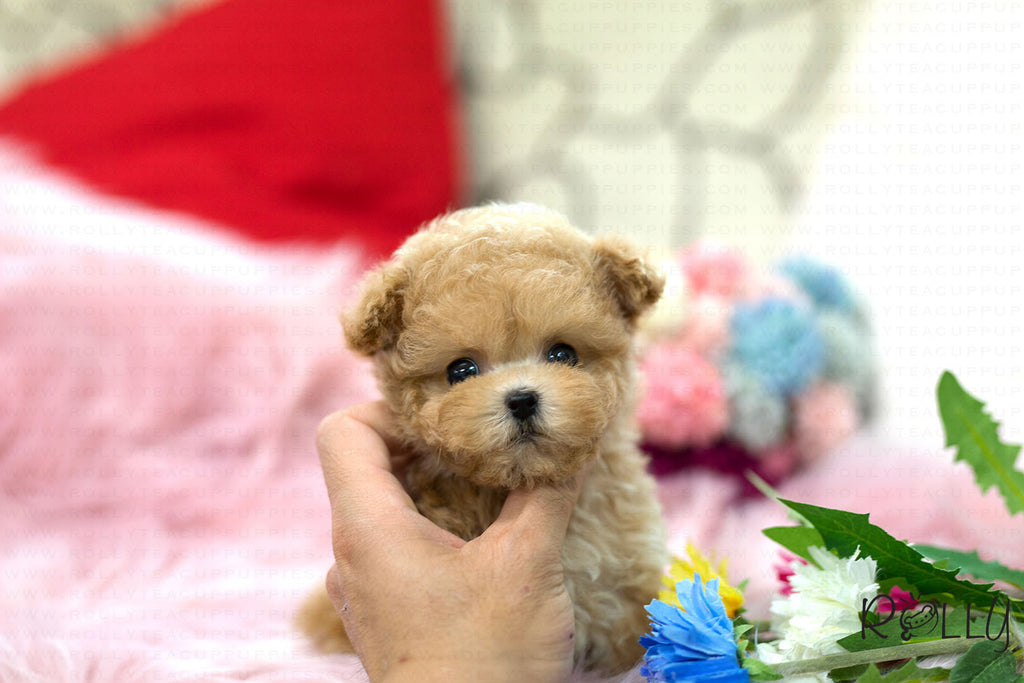 (Purchased by Clemence) Bell - Poodle. F - Rolly Teacup Puppies