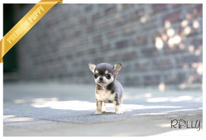 (Purchased by Grubbs) Bella - Chihuahua. F - Rolly Teacup Puppies