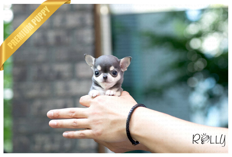 (Reserved by Grubbs) Bella - Chihuahua. F