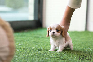 (Purchased by Breanna) Bella - King Charles. F - Rolly Teacup Puppies - Rolly Pups