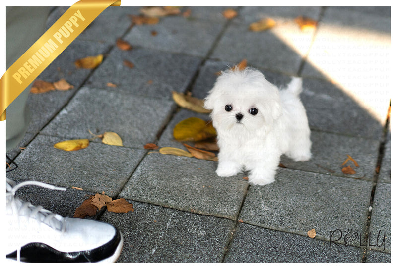 (Purchased by Wood) Bella - Maltese. F - Rolly Teacup Puppies