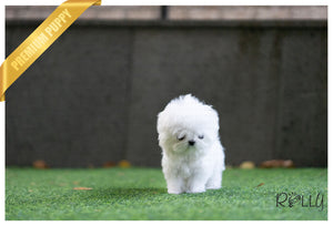 (Purchased by Wood) Bella - Maltese. F - Rolly Teacup Puppies - Rolly Pups