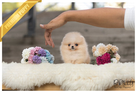 (Purchased by Mougel)Bella - Pomeranian. F - Rolly Teacup Puppies