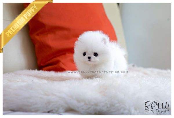 (SOLD to Contreras) Bella - Pomeranian. F