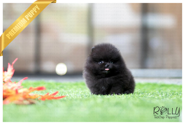 (Purchased by Kim) Bella - Pomeranian. F - Rolly Teacup Puppies