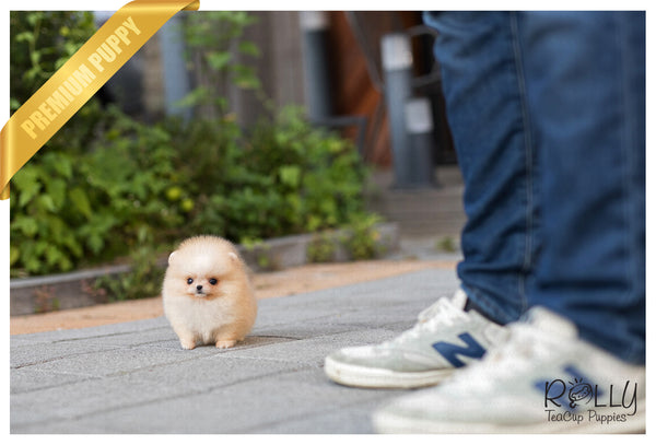 (Purchased by Mougel) Bella - Pomeranian. F - Rolly Teacup Puppies
