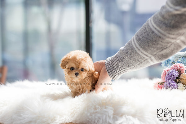 (SOLD to Santiago) Bella - Poodle. F
