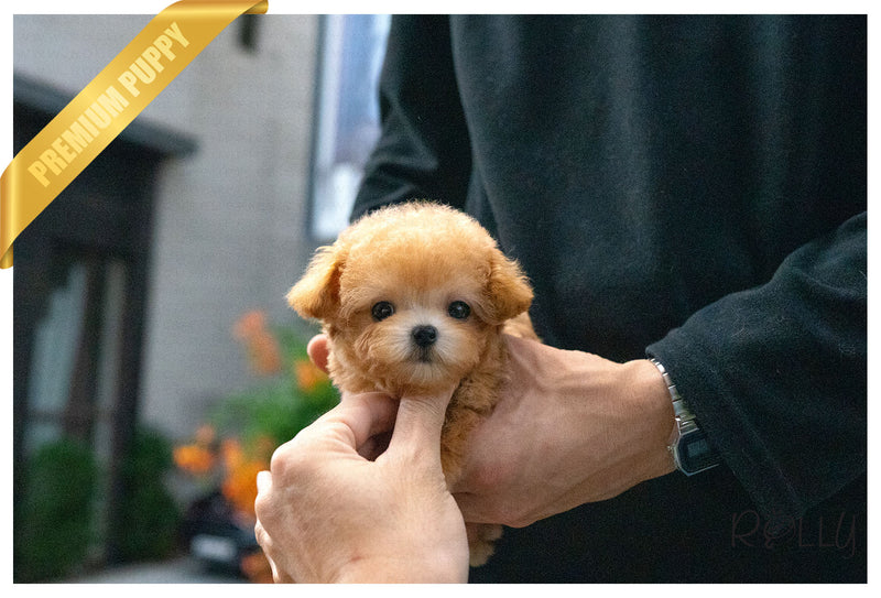 (Purchased by Estrada) MUFFIN -Poodle. M - Rolly Teacup Puppies