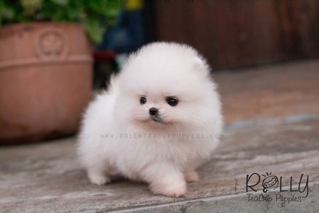 belle pomeranian rolly teacup puppies