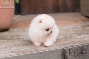 Belle - Pomeranian - Rolly Teacup Puppies