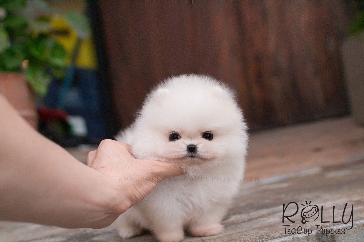 Belle - Pomeranian– Rolly Teacup Puppies
