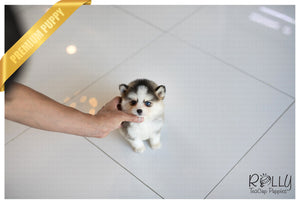 (Purchased by Big Tang) Belle - Pomsky. F - Rolly Teacup Puppies