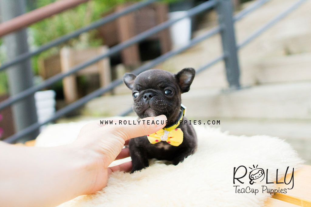 Ben - French Bulldog - Rolly Teacup Puppies - Rolly Pups