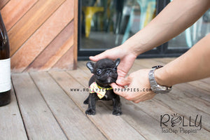 Ben - French Bulldog - Rolly Teacup Puppies