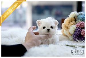 (SOLD to Renz)Ben - Maltese. M - Rolly Teacup Puppies - Rolly Pups