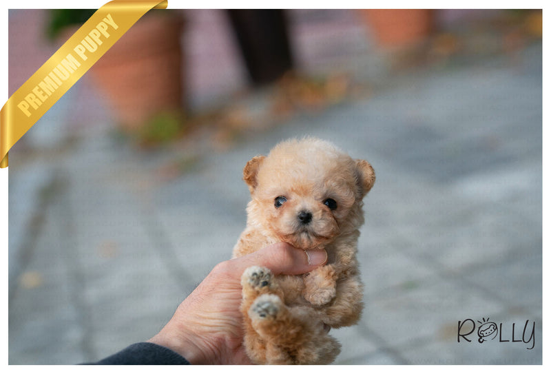 (Purchased by Palacios) Ben - Poodle. M - Rolly Teacup Puppies